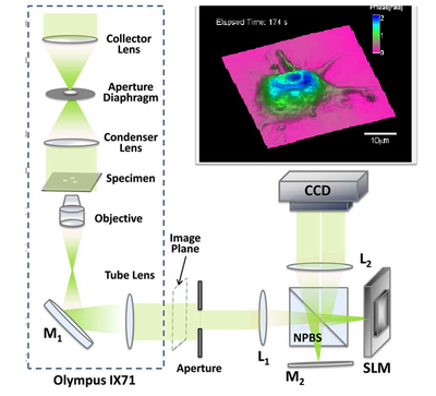 Dynamic TIE phase microscopy